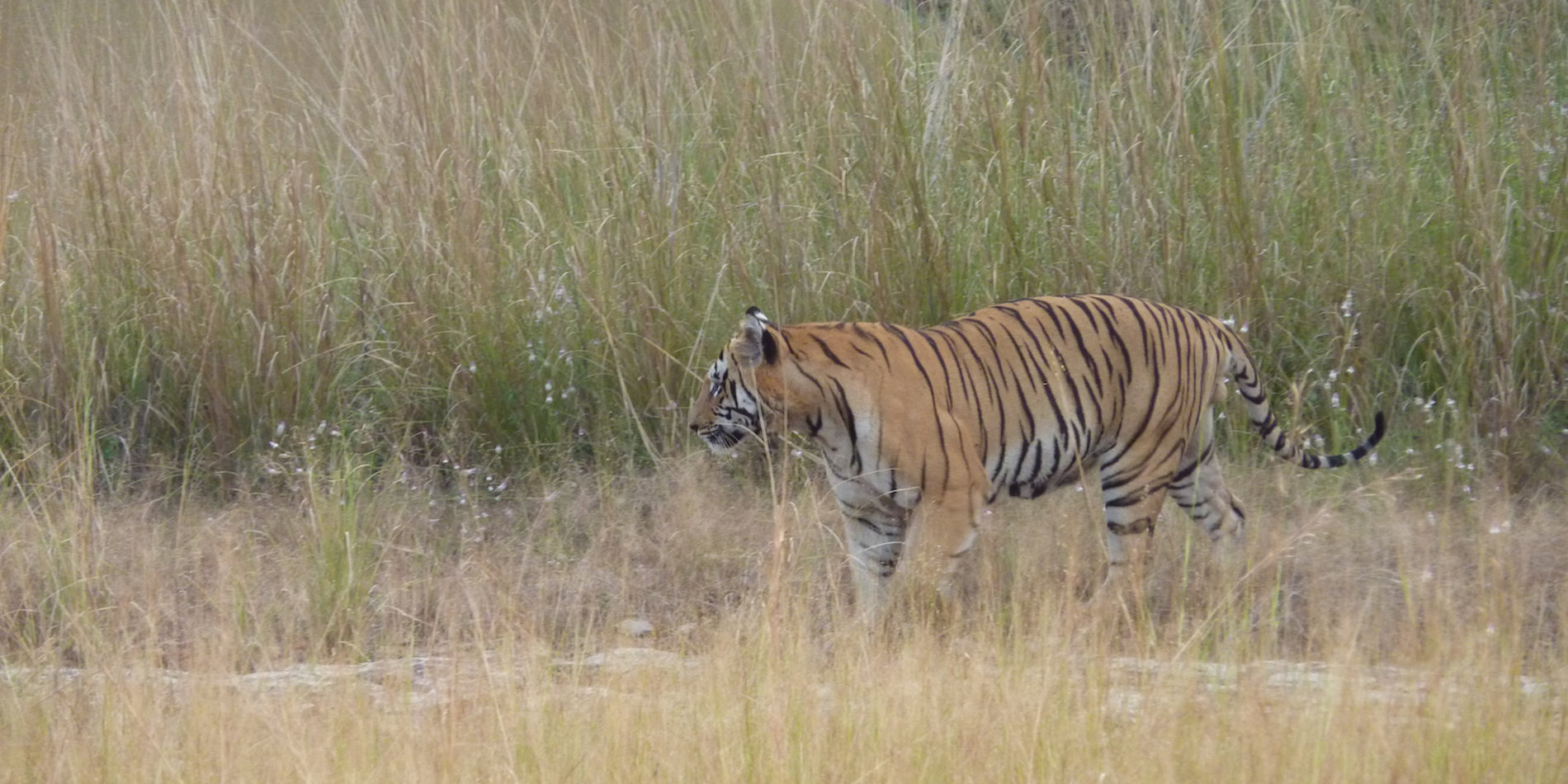 Tiger, Tadoba Andhari Reserve, India - Photo by Julie Griffin